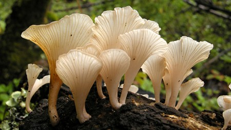 самозванец Короля грибов