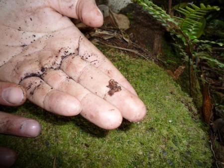 Сейшельская лягушка Гардинера