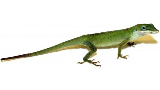 lizardtails