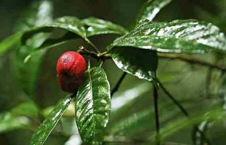 blushwood tree