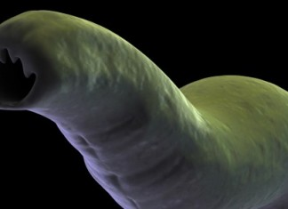 close up of a hook worm