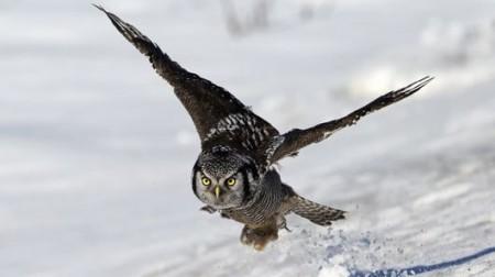 owl-wing