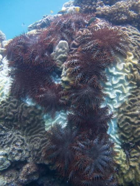 starfish-vinegar-7