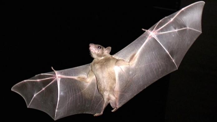 Ученые создали новые крылья вдохновившись летучей мышью