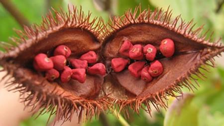 """Рак кожи будут лечить """"помадным деревом"""""""