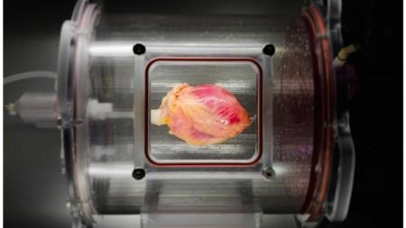 bioengineered-hearts-1