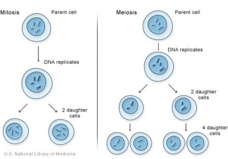 mitosismeiosis