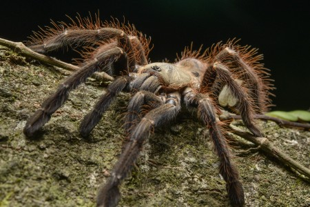 Tarantula (Phormingochilus everetti), Danum Valley Field Center, Sabah, Borneo, Malaysia