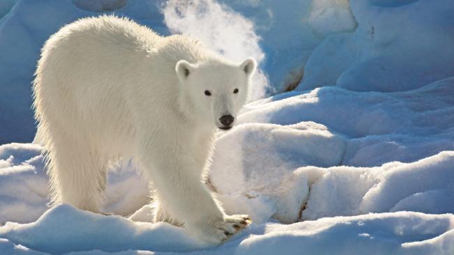 Климатические условия толкают медведей на смертельно опасные путешествия