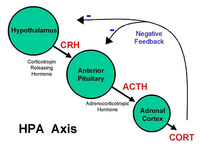 800px-Basic_HPA_Axis