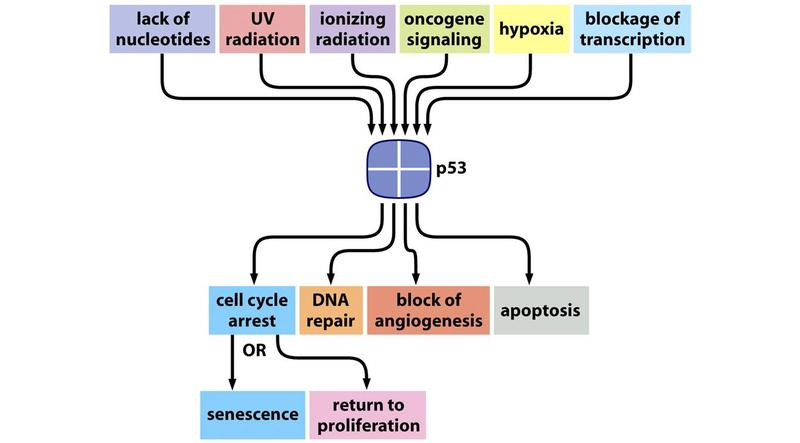 p53functions