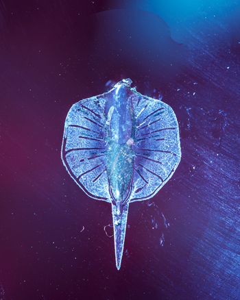 """Ученый создал """"живого"""" ската из сердечных клеток, золота и силикона"""