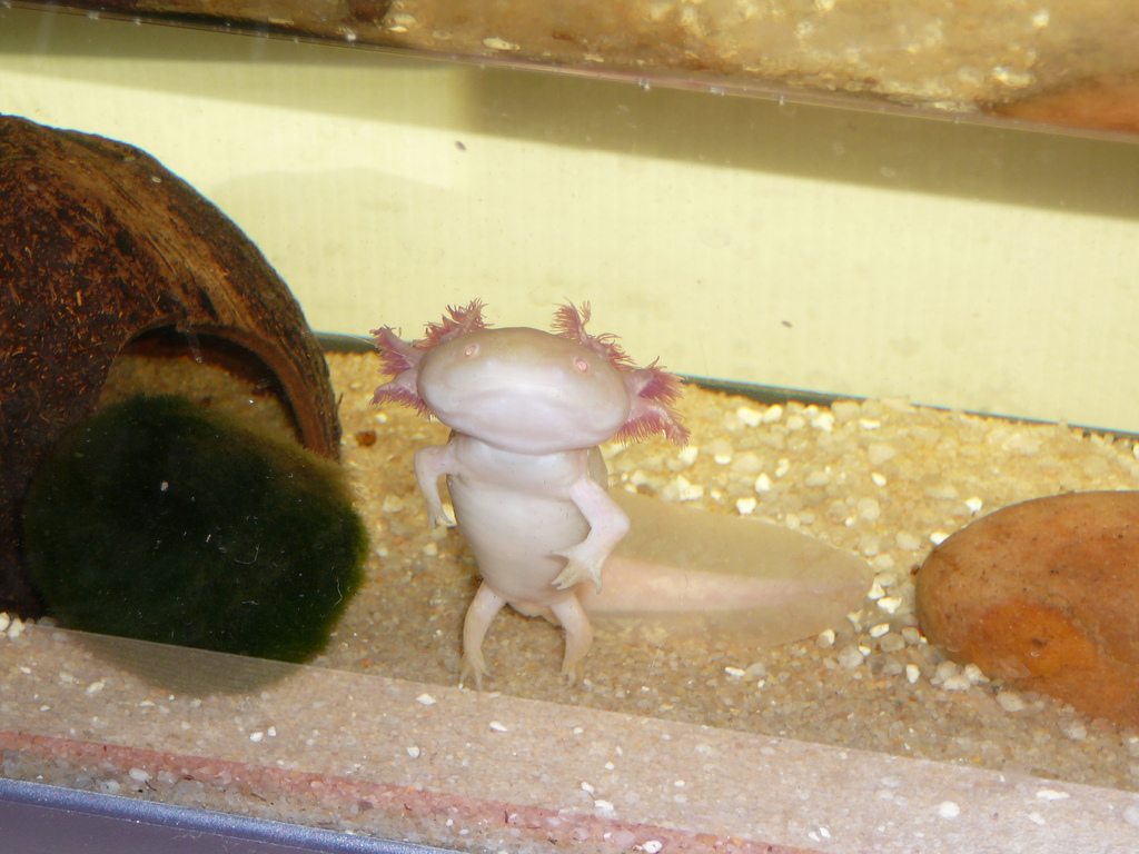 Саламандра в домашних условиях