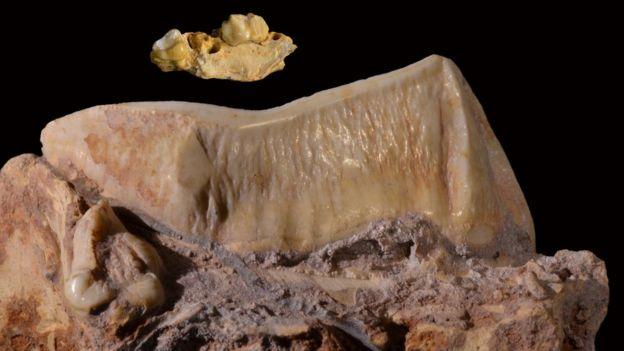 """Археологи обнаружили останки """"карманного"""" сумчатого льва"""