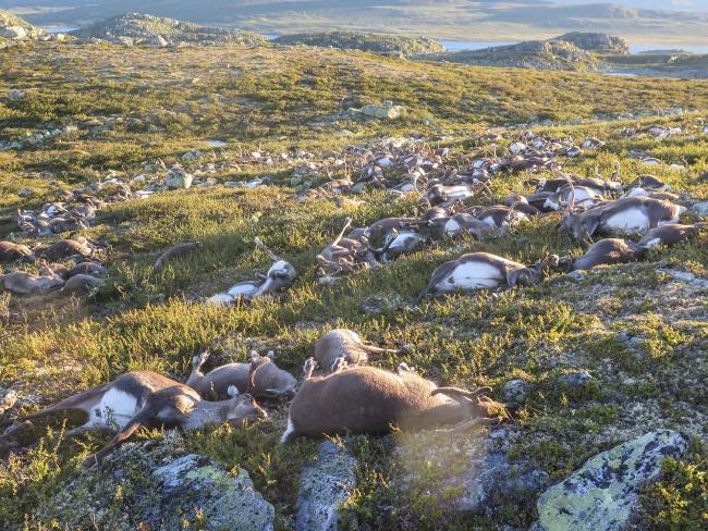 Более трехсот оленей убила одна молния