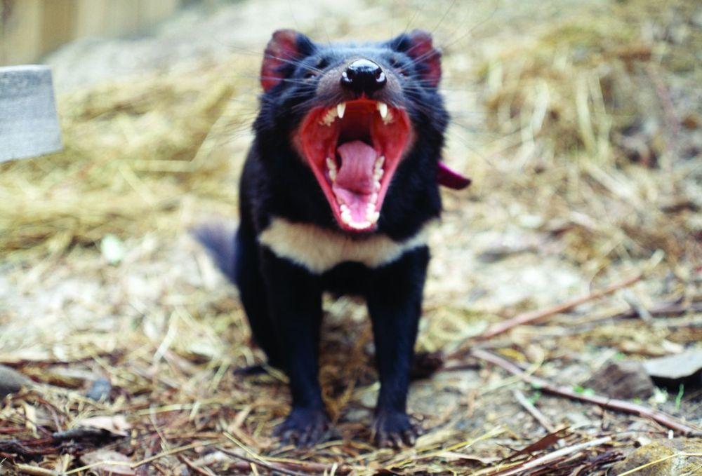 Для спасения отболезни тасманийские дьяволы усиленно эволюционируют