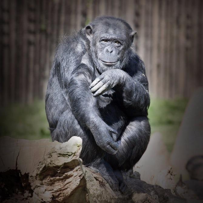 Новое открытие биологов: обезьяны всостоянии наперед просчитывать поступки человека