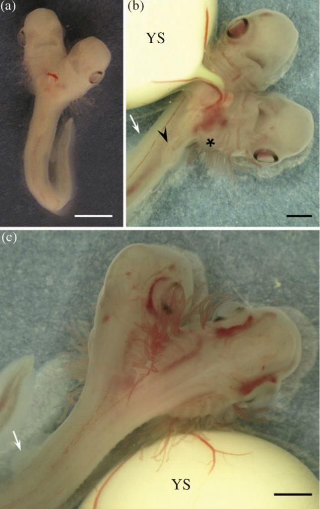 Найден эмбрион двухголовой акулы