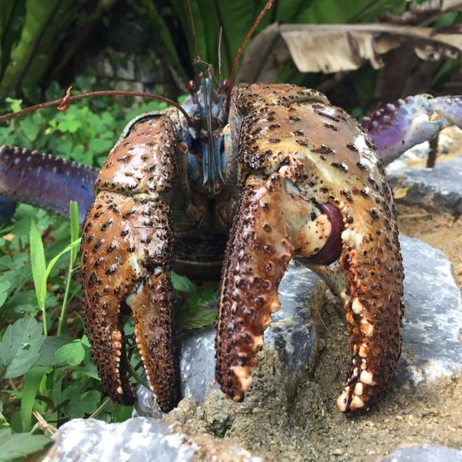 Сильнее только крокодил: учёные узнали, начто способен кокосовый краб