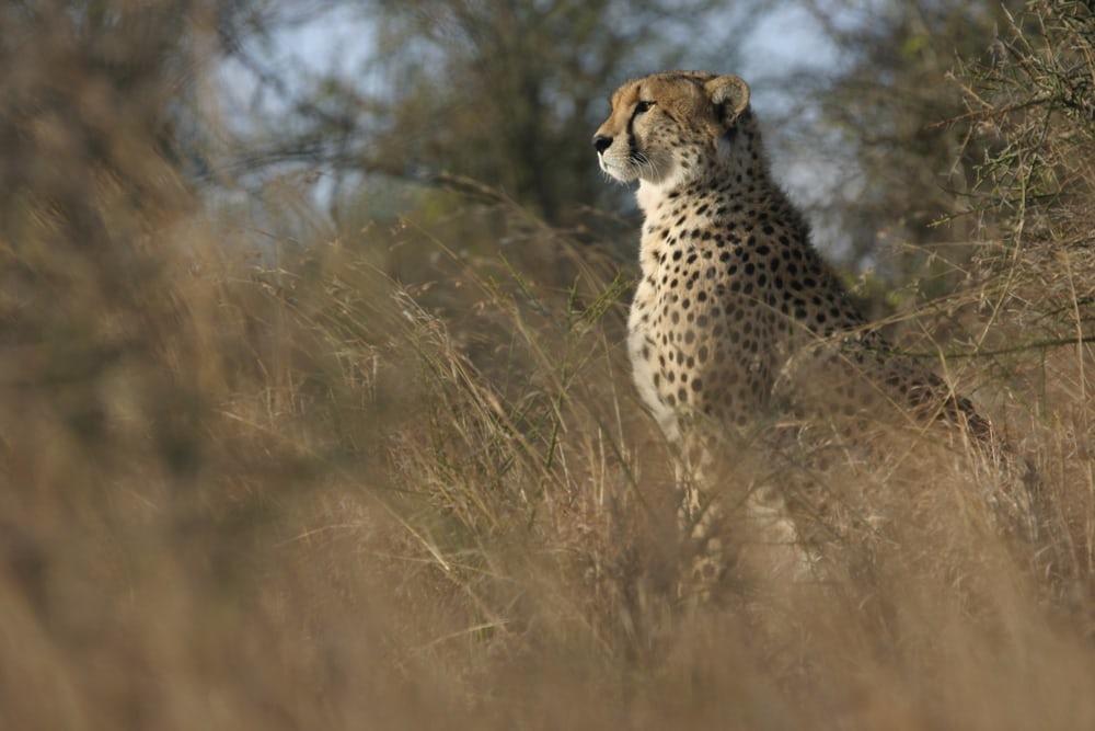Ученые бьют тревогу: гепарды пропадут слица Земли
