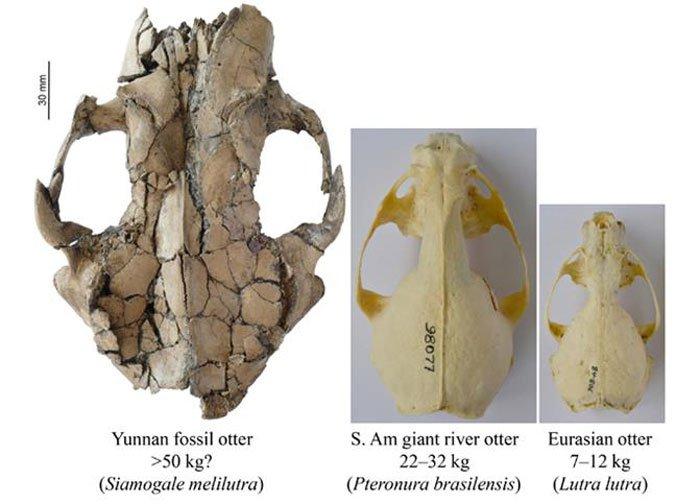 Ученые обнаружили останки гигантской выдры