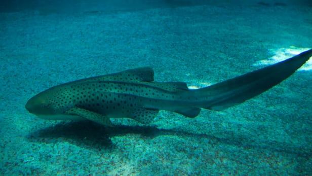Акула изАвстралии перешла кнепорочному зачатию