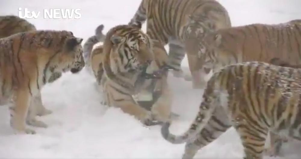 В Китае беспилотники помогают тиграм похудеть