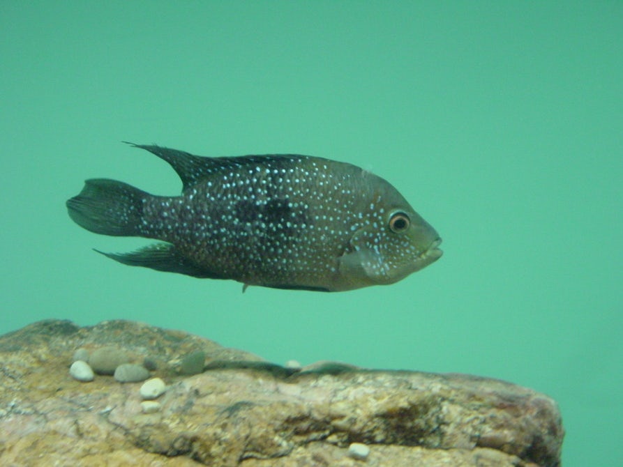 Ученый рассказал, как мелкие самцы рыбы хитростью продолжают свой род