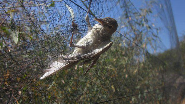 На Кипре ежегодно убивают сотни тысяч певчих птиц