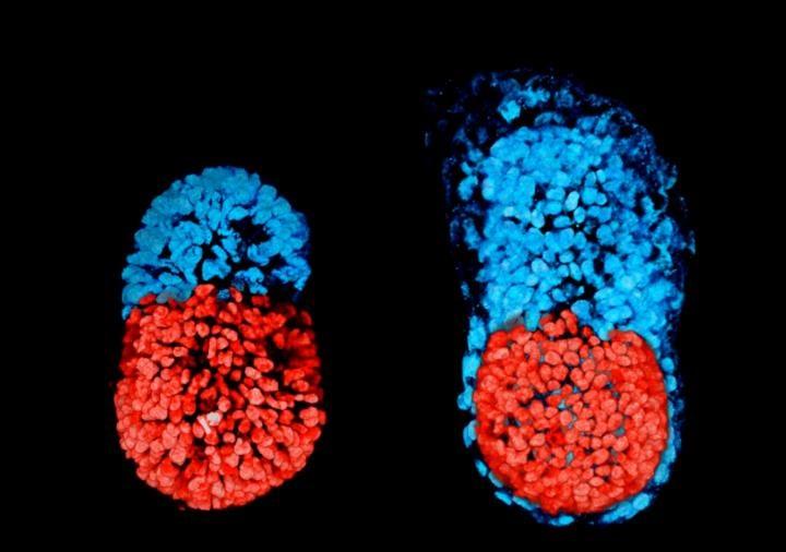 Ученые создали «искусственные эмбрионы», используя стволовые клетки отмышей