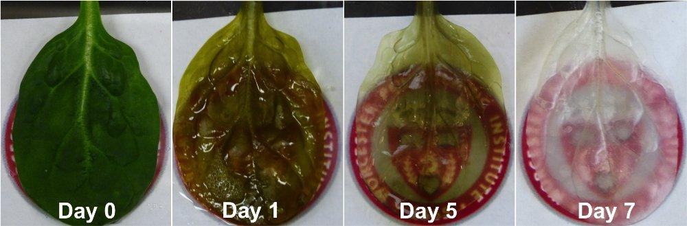 Ученые использовали листья шпината для создания сосудов сердечной ткани