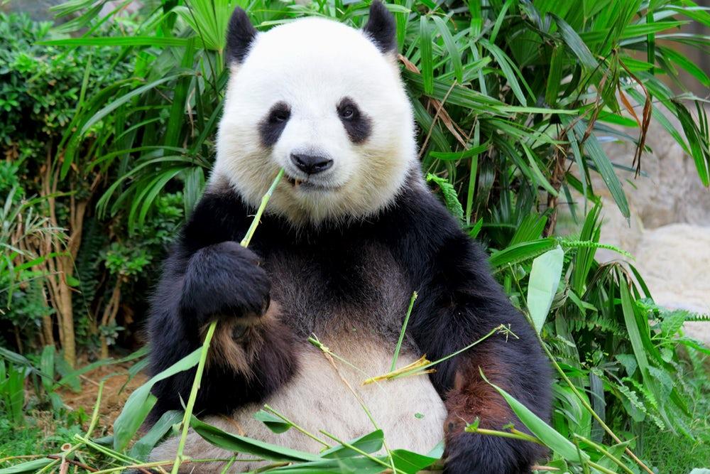 Ученые узнали, почему панды черно-белые— Загадка раскрыта