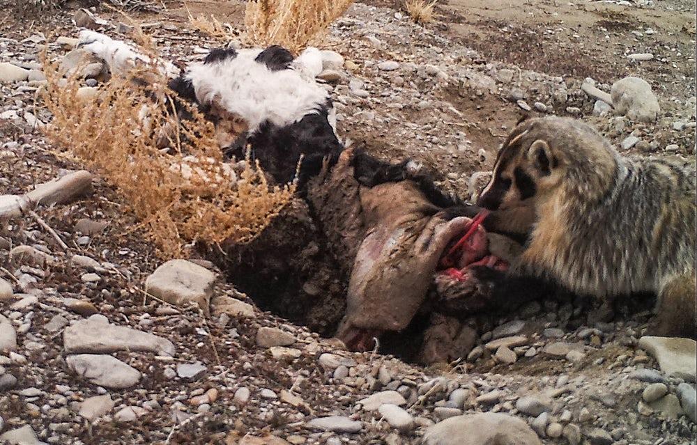 Барсук зарыл вземлю целую теленка