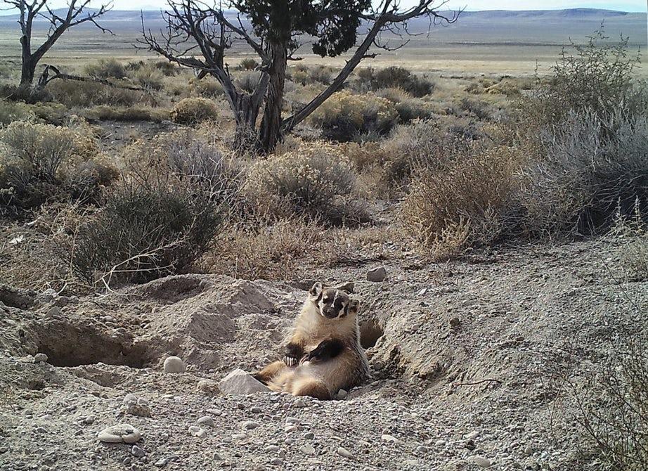 Барсук может закопать животное значительно крупнее себя