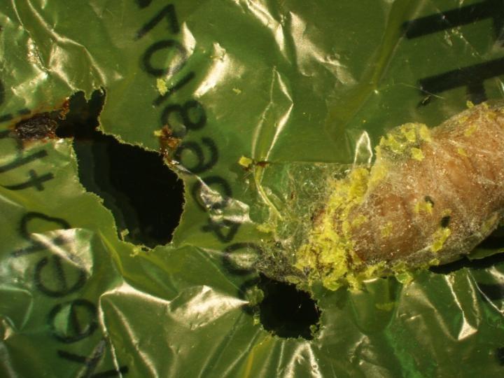 wax-worm-eat-plastic-2