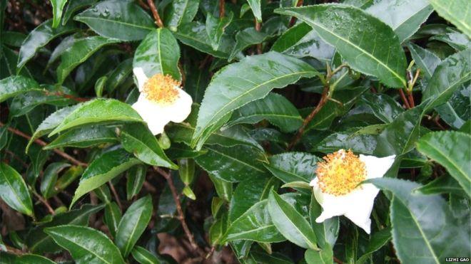 Тайну чайного дерева выдала ученым его ДНК