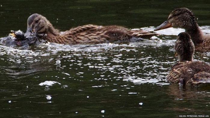 Впервые зафиксировано, как дикие утки охотятся на других птиц