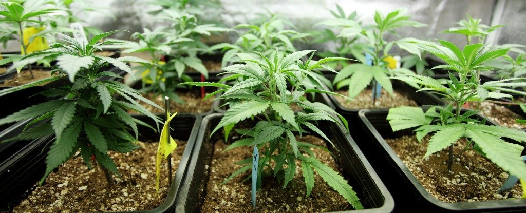 Что употреблять вместо конопли поражение мозга марихуане