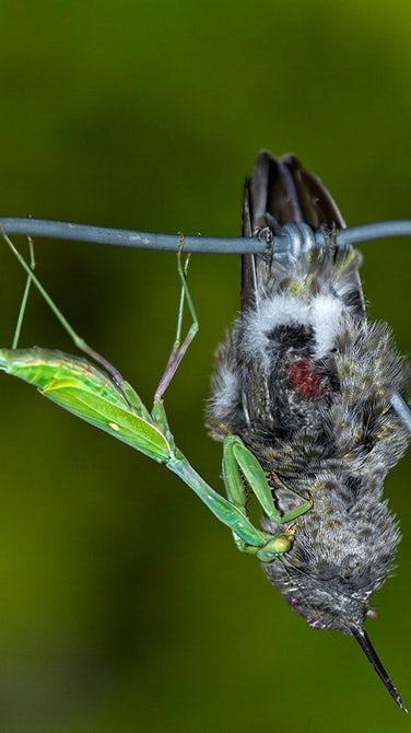 Богомолы по всему миру убивают и едят птиц