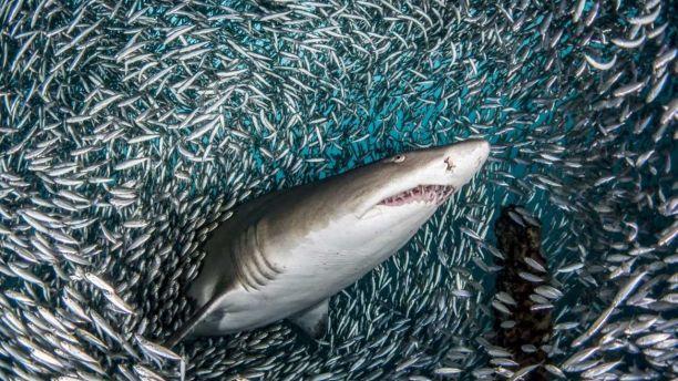 """Фотограф запечатлела """"рыбное торнадо"""" вокруг акулы"""