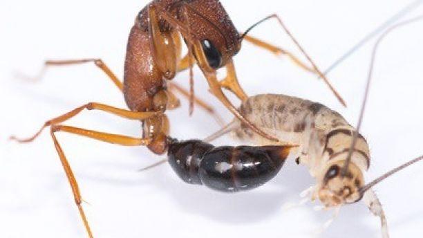 Ученые создали муравьев-мутантов