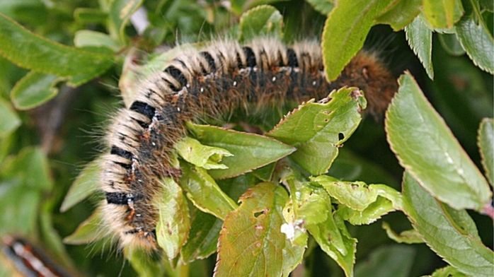 _97163794_oakeggarcaterpillarcranneburgess
