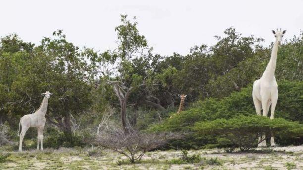 Белых жирафов впервые удалось заснять на видео