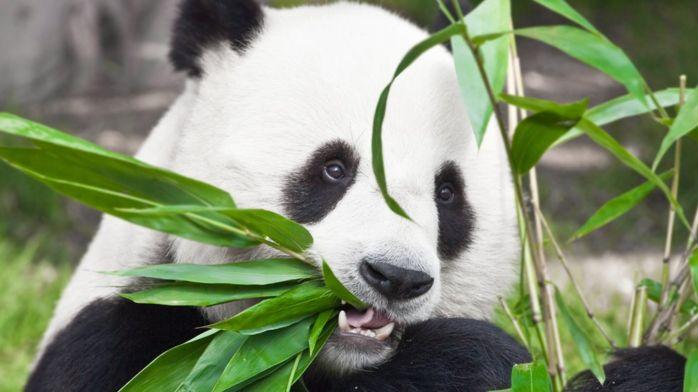 Ареал обитания больших панд сократился