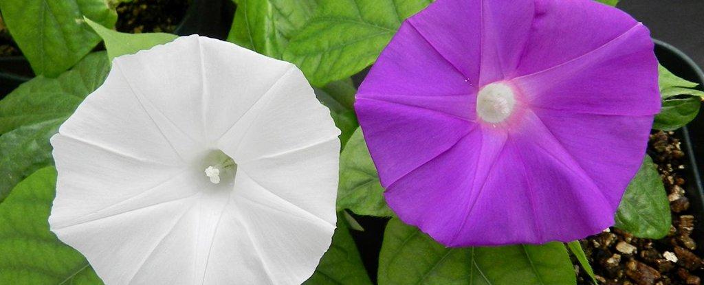Японские ученые изменили цвет ипомеи с помощью редактирования генов