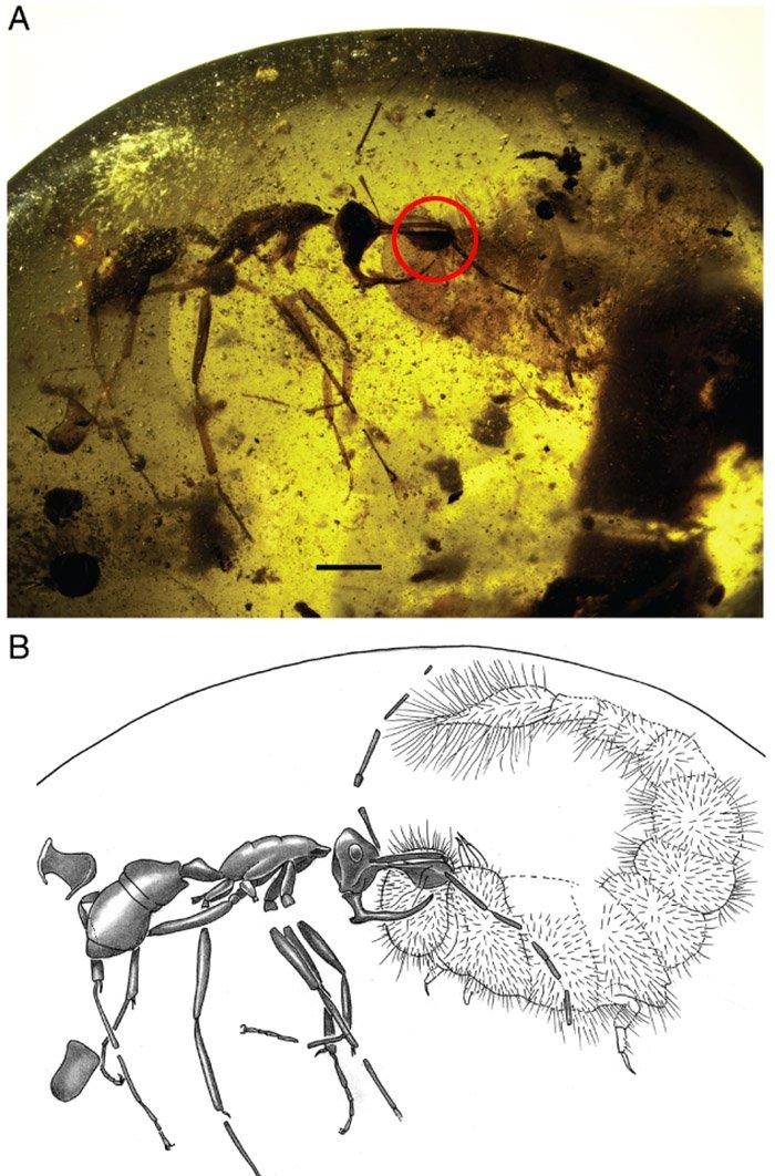 Ученые обнаружили муравья с армированным металлом рогом