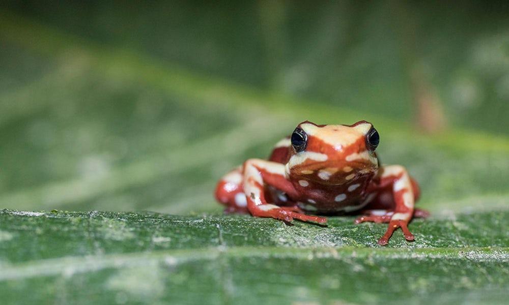 Ученые выяснили, как ядовитые лягушки защищаются от своих токсинов
