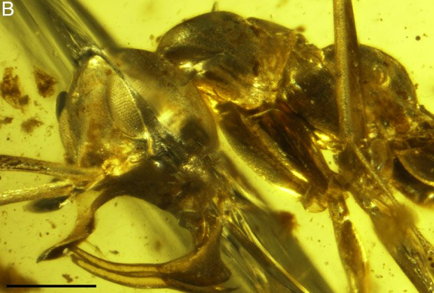 Археологи обнаружили вянтаре муравья сметаллическим рогом