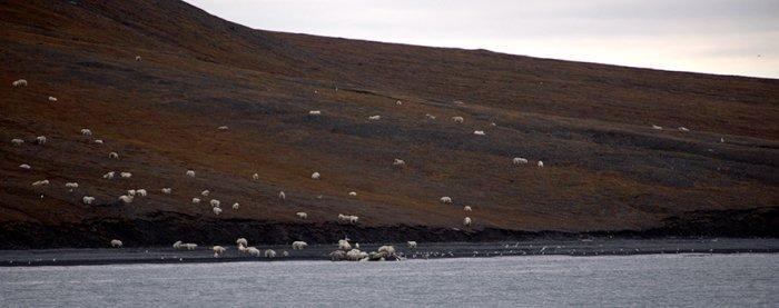Белые медведи с острова Врангеля съели кита