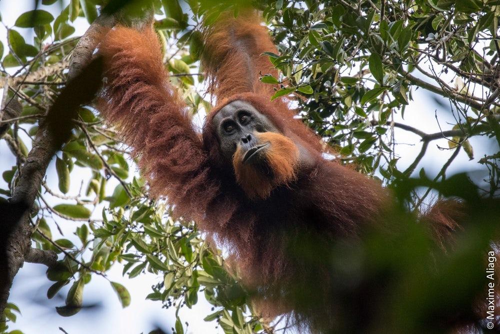 tapanuli-orangutan-2